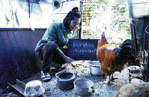 Yankee chicken farm